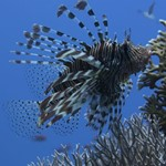 lionfish -diving in hurghada